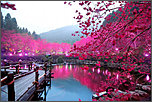 content/attachments/11597-cherry-blossoms.jpg